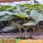 黄瓜种苗厂家 黄瓜种子 早春种植黄瓜种苗 超达黄瓜种苗 现货批发