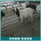 杜湖杂交羊种羊 杜湖杂交羊母羊 活体杜湖杂交羊 价格报价